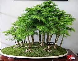 30 Wacholder Bonsai-Baum-Samen...