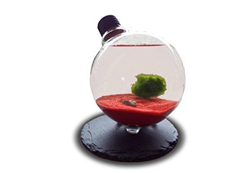 Marimo Moss Kugeln Mit Glühbirne Terrarium - Zierpflanze für Aquarien - Aegagrophila linnaei - Glas Aquarium Set - Wasserpflanze Geschenk Set
