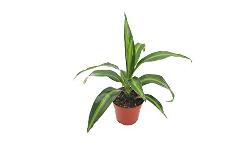 "Dracaena fragrans ""Massangeana"" (Corn Plant) - 4"" from California Tropicals"