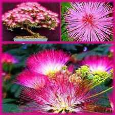 20 Mimosa Bonsai Tree Seeds - Exotic Flowering Bonsai Tree - Made in USA, Ships from Iowa