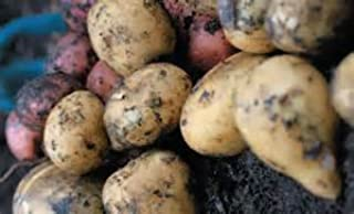 5lbs French Fingerlings and Kennebec Potato Seed Mix Non GMO Hand Selected Certified Seed