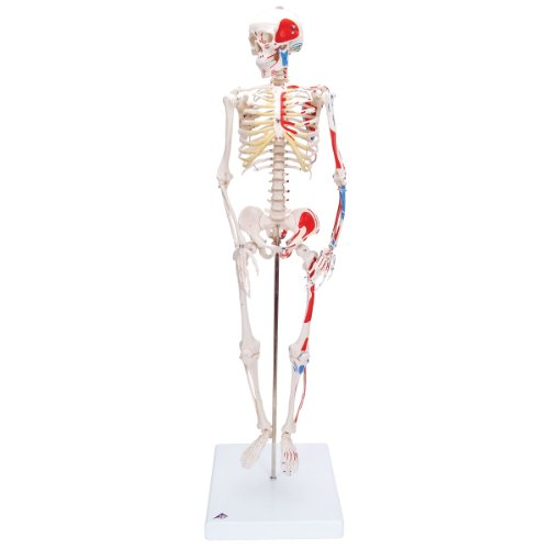 3B Scientific Menschliche Anatomie - Mini-Skelettmodell mit Muskelbemalung + kostenloser Anatomiesoftware - 3B Smart Anatomy