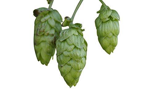50 Samen Echter Hopfen (Humulus lupulus) -Selbst Bier brauen-
