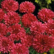 Bola roja de aciano - Centaurea Cyanus - Appx 250 Semillas - Anual