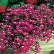 300 MAGENTA ROSE LOBELIA REGATTA Lobelia Erinus Graines de fleurs
