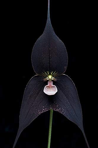 120 pezzi Semi di orchidee nere bellissime scimmie faccia Senior Phalaenopsis Bonsai Semi di fiori