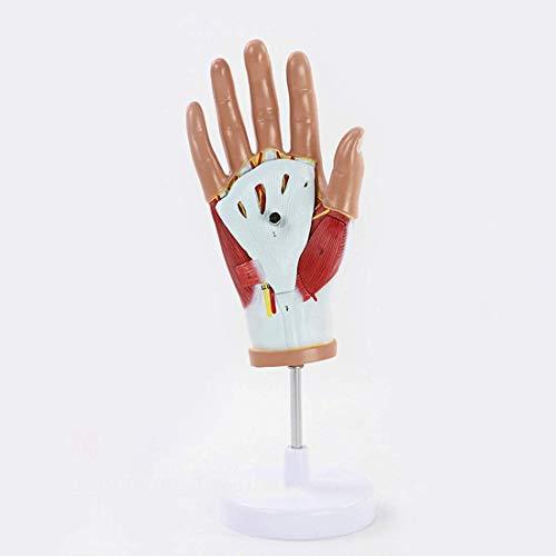 Bildungsmodell 3D Wissenschaftliche Anatomie Handmuskel Anatomisches Modell Sehnenmodell Palmblutgefäß Und Neuronales Netzwerkmodell Medizinische Lehrmittel 13 * 13 * 23Cm