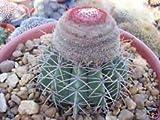 PLAT FIRM Melocactu Zehntneri Cacti Rare CACTU Seed 20 Seed -