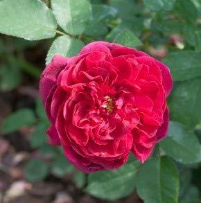 Baumschule - Rosensamen & -pflanzen