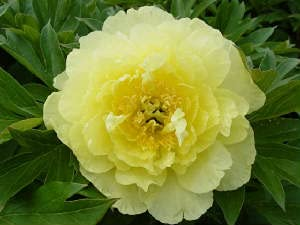 gelbe Pfingstrose für Ihren Garten:...
