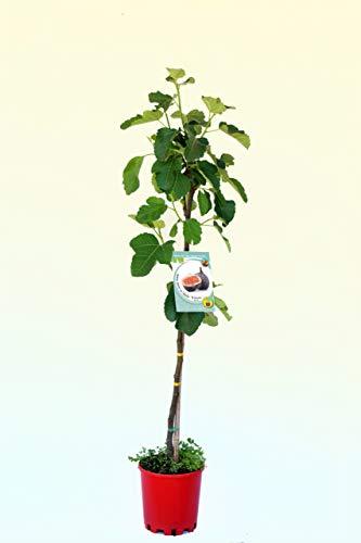 Higuera Breva ECO - Árbol frutal ecológico de 2 años