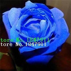 Vistaric Gran venta Nueva Rare 100 Unids Rosa Semillas Púrpura Negro Blanco Rojo Azul Bonsai/Lovely Flowers Rose Seeds