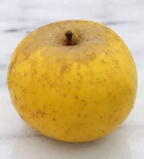 Apfelbaum Holsteiner Zitronenapfel 60-80cm - ein Herbstsapfel