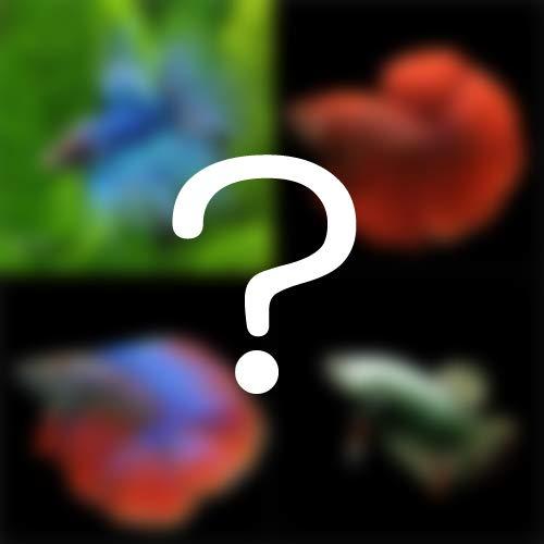 (熱帯魚 ベタ)ワクワク ショーベタ 種類おまかせ(約4-5cm)(1ペア)[生体]