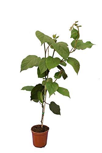Kletterpflanze Kiwi - Sorte Actinidia Chinensis Hayward - grüne Früchte - Gesamthöhe 80-100 cm Topf Ø17 cm