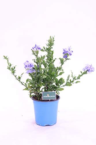 Pianta di Plumbago Auriculata pianta da esterno pianta da giardino pianta da fiore pianta vera di Plumbago venduta da eGarden.store (Plumbago Azureum)