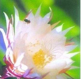 20seeds Epiphyllum Graines Nightblooming Cereus Plantes jardin de fleurs