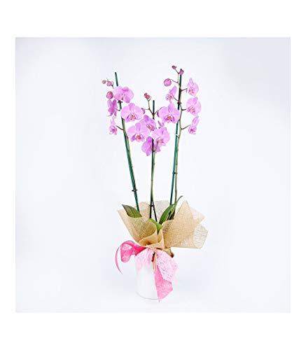 Personaliza tu dedicatoria. Escoge día de entrega. Haz tu pedido antes de las 13h y recíbelo al día siguiente. Orquídea Natural de color Rosa. 70cm de altura y 12cm diámetro de maceta.