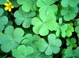 Vistaric 100 semillas trébol de cuatro hojas plantas afortunadas semillas de flores amarillas