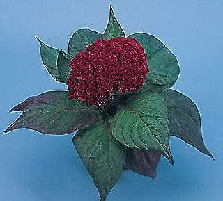 Celosia Amigo Mahogany Red 1,000 Seeds