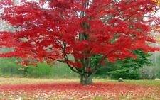 5 Red Acero Radicati Piantine Acer Rubrum (5 Piante Free) Prato Giardino