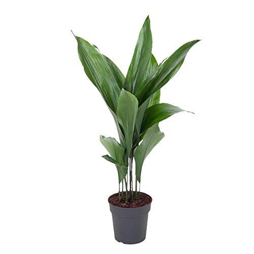Zimmerpflanze von Botanicly – Schusterpalme – Höhe: 85 cm – Aspidistra