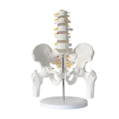 Modelos Y Materiales Educativos Médicos Suministros Y Consumibles Examen Médicos Scientific Modelo Anatómico Humano Esqueleto Clásico De Tamaño Natural sobre 🔥