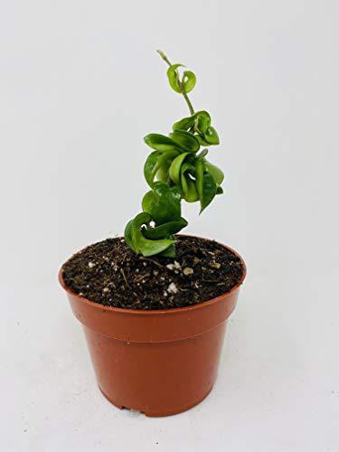 Hindu Indian Rope Plant- Hoya Exotic by: JMBAMBOO