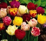 100 Bulbes de tulipes doubles\
