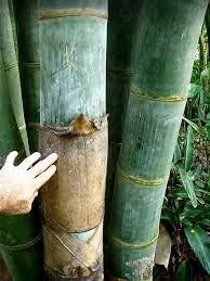 店舗 Dendrocalamus giganteus – Giant Plant Clumping 35%OFF Timber Bamboo
