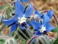 Seedville Borago officinalis Blue Star bourrache Fleurs comestibles, 100 graines