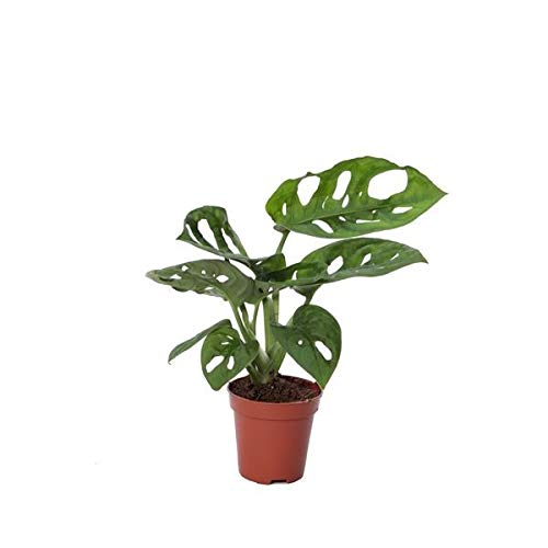 Monstera Obliqua Adansonii Monkey Mask Mini Planta en Maceta de 5cm Planta Natural Monstera de...