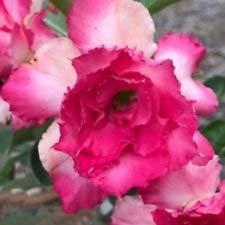 Fash Lady DESERT ROSE pink dream, adenium obesum, bonsaï naturel, 5 graines