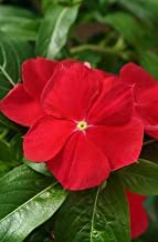 Seeds Vinca Mediterranean Xp Red Get 1000 Fresh Seeds Easy Grow AB008