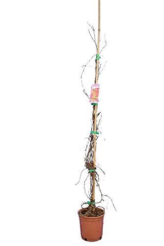 Kletterpflanze Wilder Wein Jungfernrebe - Selbstklimmer - Rote Herbstfärbung- Parthenocissus tricuspidata Veitchii - 80+ cm Topf Ø 18 cm