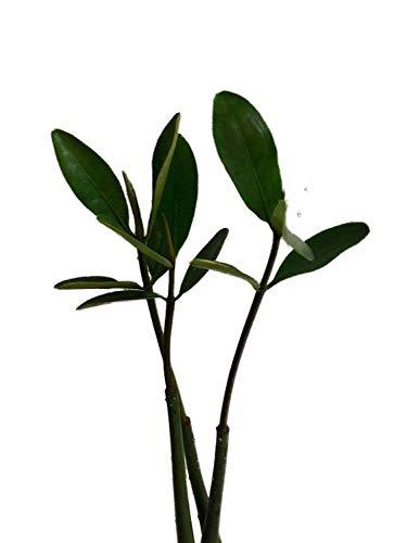 Rote Mangrove (Rhizophora mangle) Samen/Keimlinge ***Mangrovenbäume sind super seltene Zimmerpflanzen***