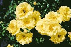 'Sunny Rose' -R-, Kleinstrauchrose, ADR-Rose im 4 Liter Container