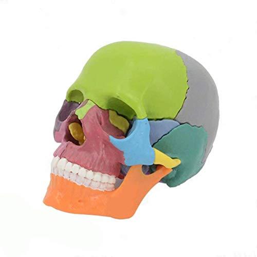 Minsong Cráneo Humano Coloreado, Desmontable Modelo Médico Del Cráneo De La Anatomía De 15 Piezas