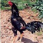 国産 川俣しゃも 中抜き丸鶏 1羽 1.6~2.0kg 冷蔵品