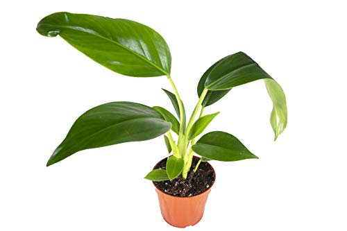 """Philodendron Congo Green – 4"""" from California Tropicals"""