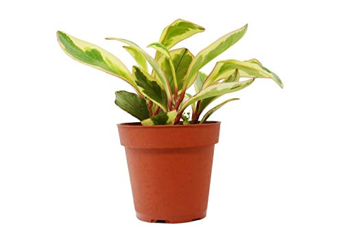 """Peperomia 'Ginny' in 4"""" Pot - Baby Rubber Plant - Free Care Guide"""