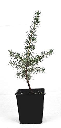 Seedeo Libanonzeder (Cedrus libani) Pflanze ca.10 cm hoch
