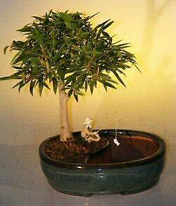 SmartMe Live Plant - Willow Leaf Ficus Bonsai Tree Land Water Pot Nerifolia Salisafolia 7 y.o 12' Tall - Tree Plant