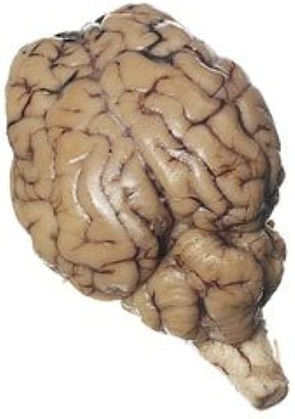 Nasco 绵羊器官脑与脑神经根实验室标本 LS01152