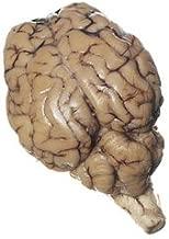 Nasco Sheep Organ - Brain; with Cranial Nerve Roots Lab Specimen - LS01152