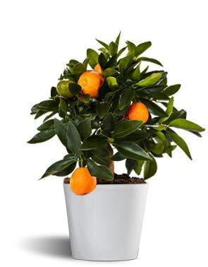 kumquat o naranjo de la china - cítrico enano de interior - maceta 12cm - planta viva - naranjas comestibles