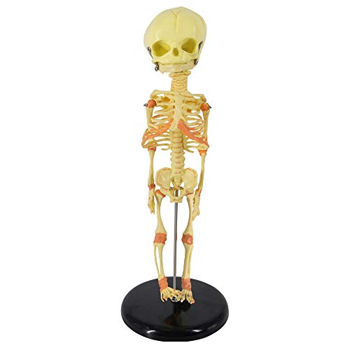 Human Fetus Skeleton, Single Head Human New Born Baby Skeleton Model for Display Study Teaching and Gift for Halloween Medical Teaching Learning, Kids Learning Education Display Tool