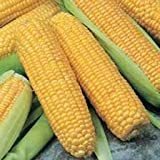 untreated kernel corn - 1 oz. Truckers Favorite Yellow Sweet Corn, Untreated Seeds, Garden, Vegetable Seeds, Non-GMO