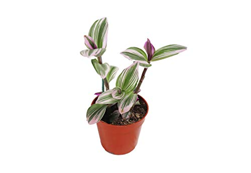 Pink Wandering Jew -Rare Nanouk - 4' Pot from California Tropicals
