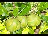 Genipap Árbol frutal de manzana elefante 10 piezas